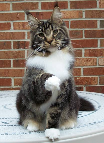 Dodge Ice Charger >> Kelimcoons Maine Coon Cats, Breeder of Maine Coon Cats & Kittens In New Hampshire
