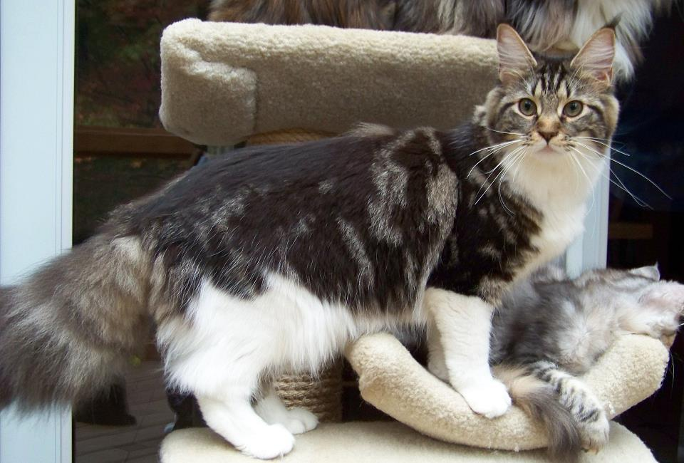 Kelimcoons Maine Coon Cats, Breeder of Maine Coon Cats & Kittens In ...