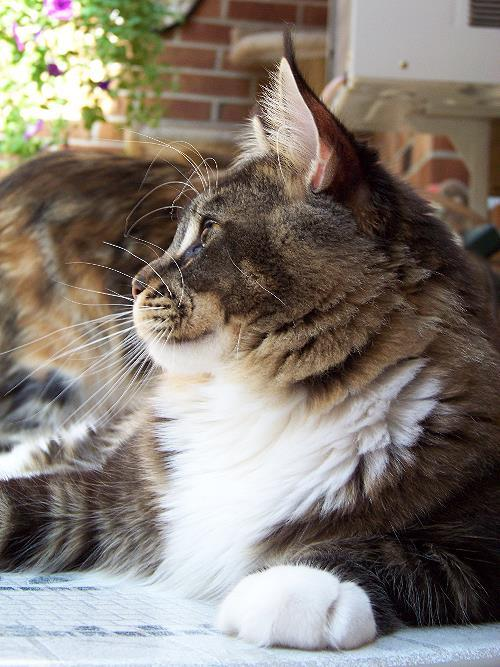 Kelimcoons Maine Coon ...