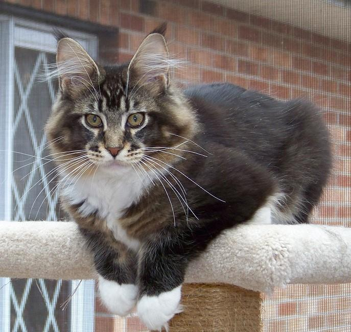 kelimcoons maine coon cats breeder of maine coon cats