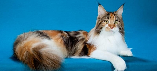 Maine coon cats in iowa
